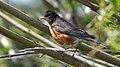 American Robin (4436798965).jpg