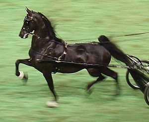 Fine harness - An American Saddlebred in fine harness.