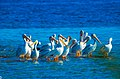 American White Pelicans (Pelecanus erythrorhynchos) (40965427472).jpg