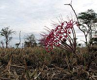 Ammocharis tinneana Serengeti