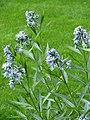 Amsonia orientalis 2010-05-29 01.jpg