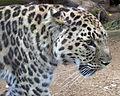 Amur Leopard 5 (5017716093).jpg