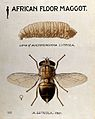 An African floor maggot (Auchmeromyia luteola); larva and fl Wellcome V0022559.jpg
