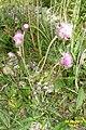 An Alpine knapweed (Grubig.) (23972989984).jpg