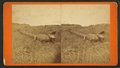 An alligator, from Robert N. Dennis collection of stereoscopic views.png