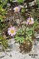 An alpine daisy sp. (Gru) (31121740274).jpg