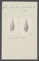 Ancillaria subulata - - Print - Iconographia Zoologica - Special Collections University of Amsterdam - UBAINV0274 087 10 0007.tif