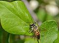 Andrena melittoides male 2.jpg