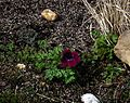 Anemone Burgundy - Flickr - peganum (2).jpg