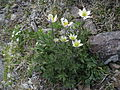 Anemone occidentalis, Western Pasqueflower.jpg