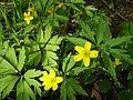 Anemone ranunculoides0.jpg