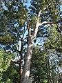 Angophora floribunda.jpg