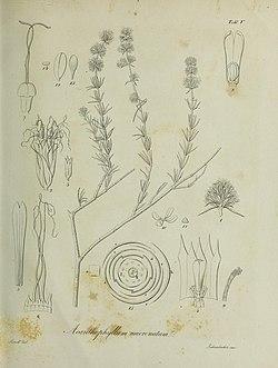 <i>Acanthophyllum</i> genus of plants
