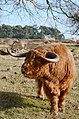 Another man is trying to impress us with his majestic horns at Deelerwoud 12 Februari 2014 - panoramio.jpg