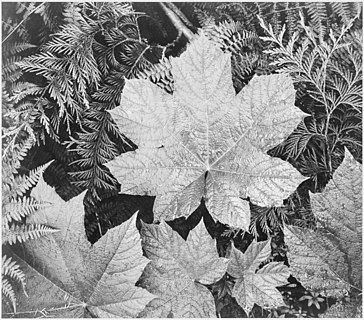 """Close-up of leaves, from directly above, """"In Glacier National Park,"""" Montana"""