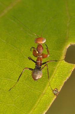 Ant-mimicking mantis Acontista sp. (15760170761).jpg