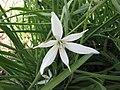 Anthericum liliago -比利時國家植物園 Belgium National Botanic Garden- (9226998477).jpg