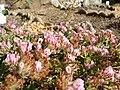 Anthyllis vulneraria.001 - Aquarium Finisterrae.JPG