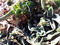 Anthyllis vulneraria subsp. pseudoarundana LeavesCloseup.jpg
