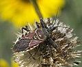 Apiomerus spissipes P1480125a.jpg
