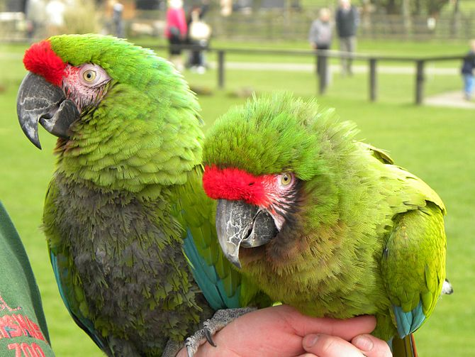 Two Military Macaws at Whipsnade Zoo, Bedfords...