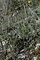 Arabidopsis-thaliana-Aubais-JohnWalsh01.jpg