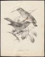 Arachnothera affinis - 1876-1880 - Print - Iconographia Zoologica - Special Collections University of Amsterdam - UBA01 IZ19000147.tif