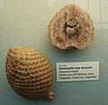 Araucaria mirabilis 1.JPG