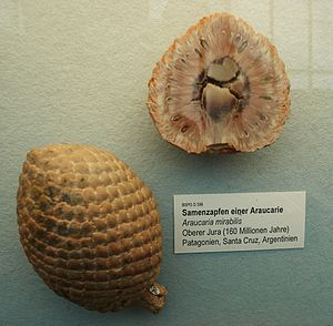 Bosques Petrificados de Jaramillo National Park - Fossilised cones of Araucaria mirabilis