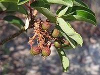Arbutus andrachne fruit (Ab plant 98).jpg