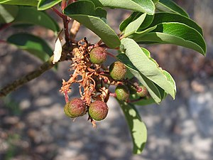 Greek Strawberry Tree (Cyprus Strawberry Tree)...