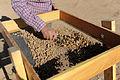 Archaeology dirt screening.jpg