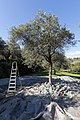 Archangelos Αρχάγγελος Rhodes Ρόδος 2019-11-27 10 olive harvest.jpg