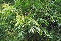 Archidendron bigeminum 35.jpg