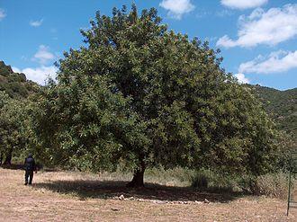 Ceratonia siliqua - A large carob tree in Sardinia, Italy