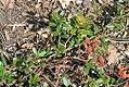 Arctostaphylos uva-ursi 3zz.jpg