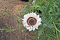 Arctotis fastuosa-IMG 6966.jpg