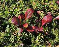 Arctous alpina var. japonica (leaf s2).jpg