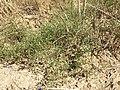 Arenaria serpyllifolia (s. str.) sl31.jpg