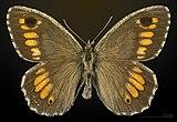 Arethusana arethusa MHNT CUT 2013 3 32 Villegailhenc male dorsal.jpg
