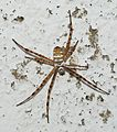Argiope July 2012-1a.jpg