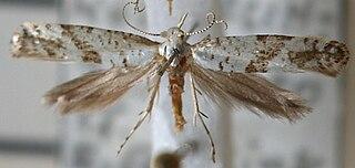 <i>Argyresthia curvella</i> Species of moth