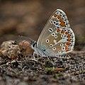 Aricia agestis 02 (js), Lodz (Poland).jpg