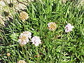 Armeria rhodopaea1.jpg