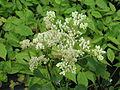 Arnoglossum plantagineum (14501792156).jpg