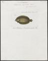 Arnoglossus aspilus - 1866-1872 - Print - Iconographia Zoologica - Special Collections University of Amsterdam - UBA01 IZ14000179.tif