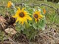 Arrowleaf balsamroot - Chelsea Monks - Black Hills National Forest.jpg