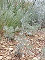 Artemisia austriaca sl14.jpg
