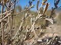 Artemisia tridentata wyomingensis (5041554187).jpg