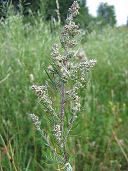 Burot - Artemisia vulgaris